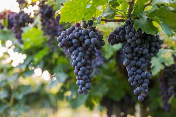 Rote Trauben in einem italienischen Weinberg Bardolino