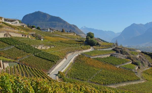 Weinberge im Wallis
