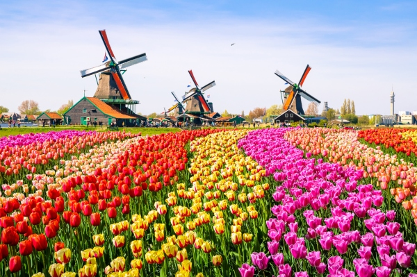Windmuehlen mit Tulpen in Holland