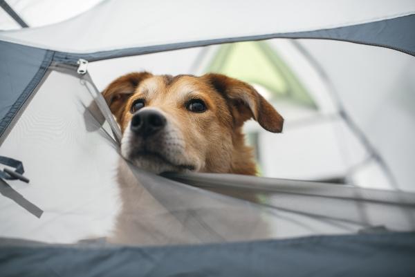 hund-im-zelt-hundecamping-mit-hundezelt