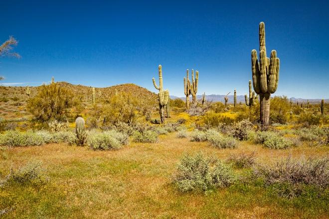 SaguaroKakteen - Mit dem Wohnmobil durch die USA